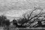 Spreeuwen-Lauwersmeergebied-Tjeerd-Visser (1)